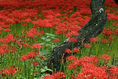 彼岸花 spider lilies