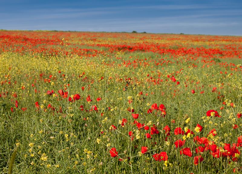 3677 Poppy Field