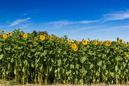 day sunny clear sunflowers sunflower daytime applepicking clearsky fishkillfarms