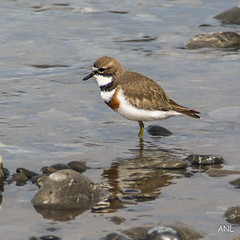animal, charadriiformes, cinclidae, fauna, calidrid, sandpiper, beak, bird, wildlife,