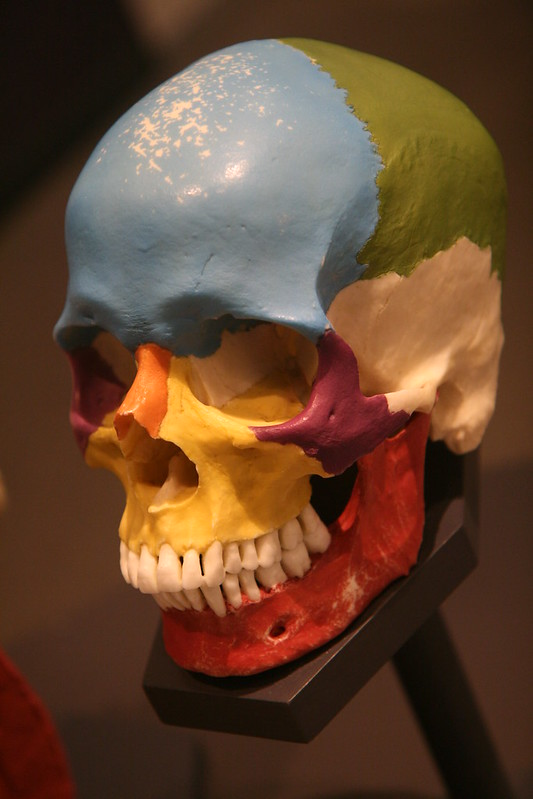 Colorful Human Skull Model