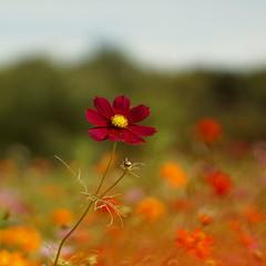 blossom(0.0), coquelicot(0.0), grassland(0.0), poppy(0.0), annual plant(1.0), prairie(1.0), flower(1.0), field(1.0), garden cosmos(1.0), plant(1.0), macro photography(1.0), wildflower(1.0), flora(1.0), close-up(1.0), meadow(1.0), plant stem(1.0), petal(1.0),