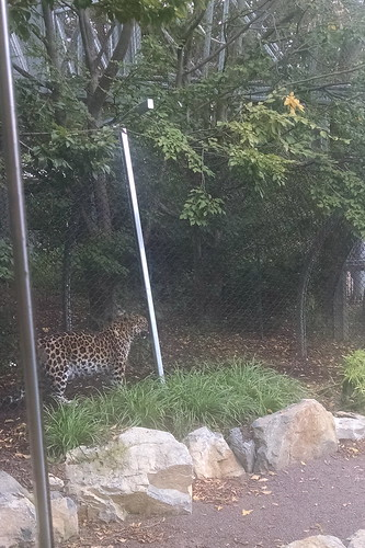 Zoo 360 - a jaguar visits near the cafe where we ate lunch