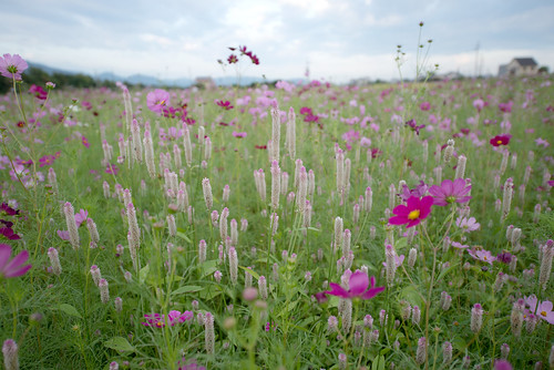 pink flowers autumn light flower color green nature beautiful japan landscape photography nikon scenery pastel 日本 花 cosmos d800 1424 nikoor 1424mm