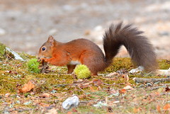 DSC_1525 Red Squirrel. (Explore 01.10.14)