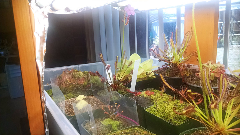 Drosera capensis red form blooming in the tray.