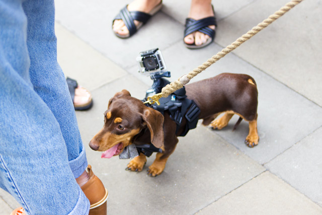 The Outnet sausage dog with a Go Pro camera