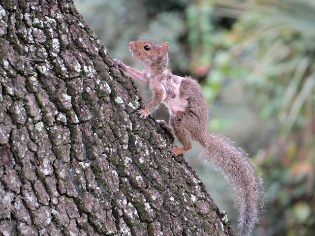 Eastern Gray Squirrel | Sciurus carolinensis