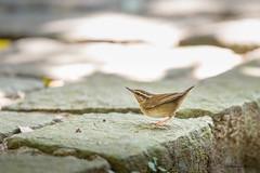 12短尾鶯