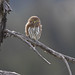 Northern Pygmy Owl by Canonshooterman