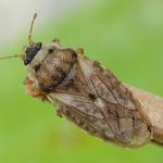 nyakas recéspoloska - Piesma maculatum