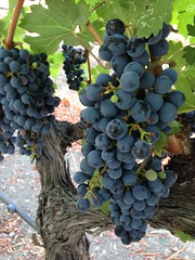 Grapes on the vine in Napa Valley CA