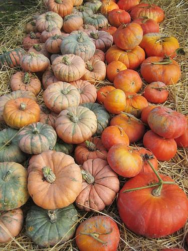 Fairytale pumpkins at LaConner Flats Farm