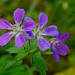 Wood Crane's-bill - Photo (c) Tero Laakso, some rights reserved (CC BY-SA)