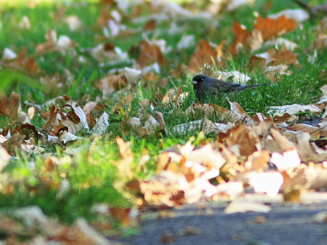 Dark-eyed Junco 20141009