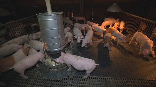 長期而言毛豬生產成本增加。