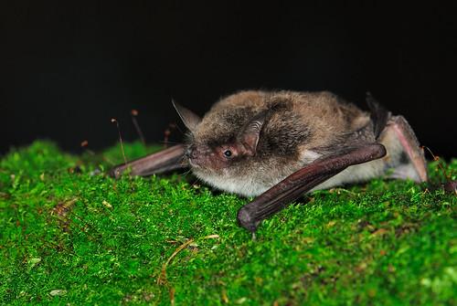台灣鼠耳蝠和廈門的毛腿鼠耳蝠(Myotis fimbriatus) 不論形態或分子皆屬於同一類群。(攝影:周政翰)