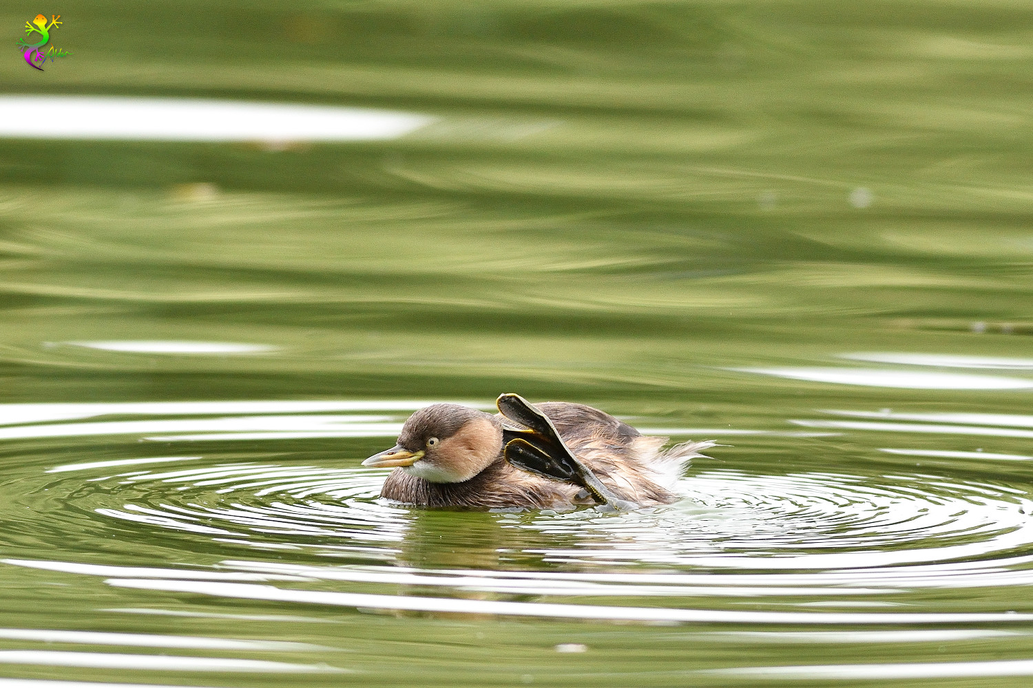 Little_Grebe_6285