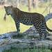 Leopard (Eric Browett)
