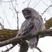 Owl Scowl