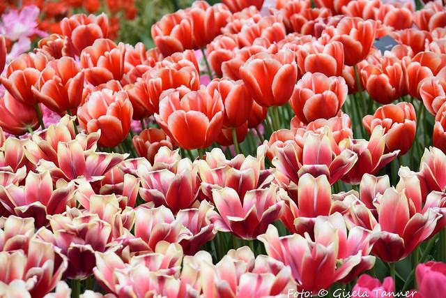 Frühlingsblumen im Keukenhof