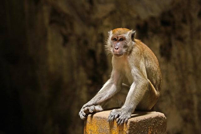 Monkey at the Batu Cave in Kuala Lumpur, Malaysia
