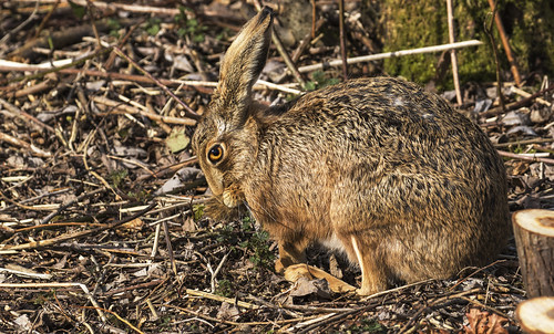 Hare - Photographer in the eye's