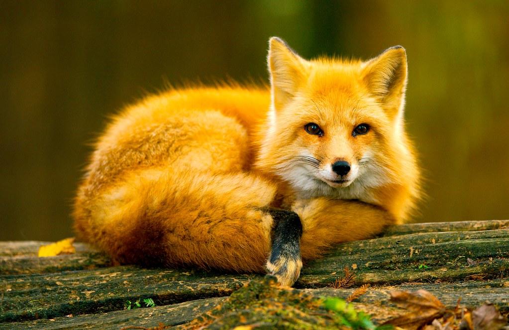 Red Fox_3