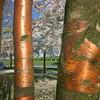 Sakura forest :deciduous_tree::cherry_blossom: