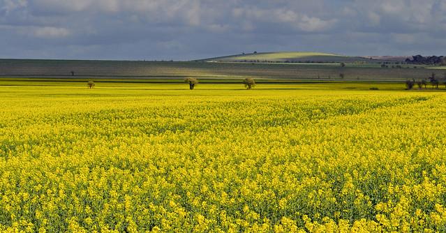Spring fields, Blewbury, Oxfordshire, England