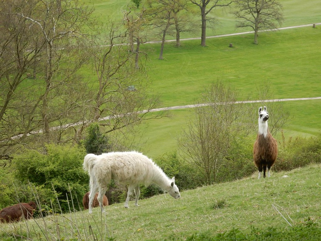 Guardians of the glen Alpaca overlooking Halliloo Valley - Whyteleafe to Woldingham