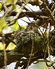 Mother Anna's Hummingbird with two babies in nest