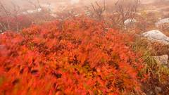 Fiery Bush
