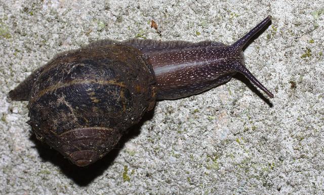 Cheeky garden snail