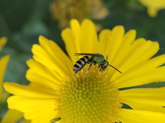Bicolored Agapostemon bee (Agapostemon virescens); Mount Rainier, PGC, Maryland; Sep 30, 2014