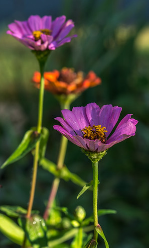 Zinnia Row by Geoff Livingston