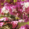 small bird series: white-plumed honeyeater on bougainvillea
