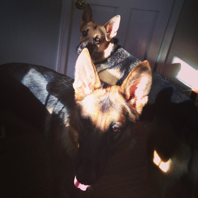 Shadow sheps #germanshepherds #gsdlife