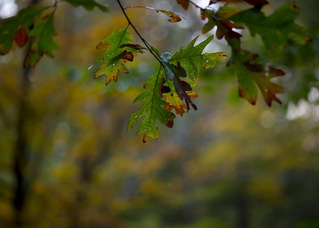 Oak Bokeh