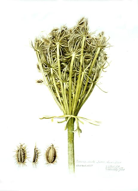Dick Rauh, Daucus carota, 2009. Watercolor on 300 lb. hot press paper.