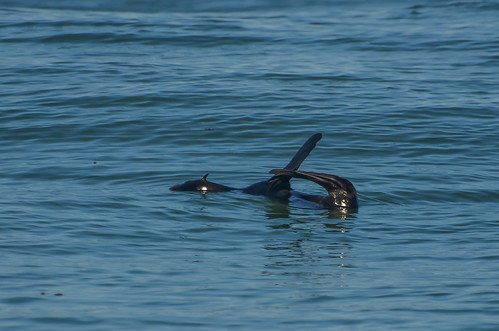 <p><i>Callorhinus ursinus</i>, Otariidae<br /> Pelagic Zone, off Tofino, British Columbia, Canada<br /> Nikon D5100, 70-300 mm f/4.5-5.6<br /> September 20, 2014</p>