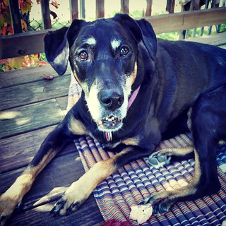 I have no idea what to call this look, but Lola says Happy Friday! #dobermanmix #rescued #dobiemix #seniordog #adoptdontshop #dogstagram #ilovemyseniordog #ilovebigmutts #ilovemydogs #smile #love #fall #FallisInTheAir