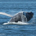 Humpback Whale ending a breach CGS17746 by WildImages