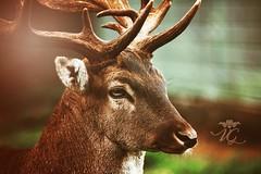 Oh, Deer I love you !