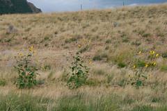 prairie, steppe, ecoregion, flower, grass, shrubland, plain, hill, wildflower, flora, natural environment, terrain, meadow, wilderness, pasture, rural area, grassland, wildlife,
