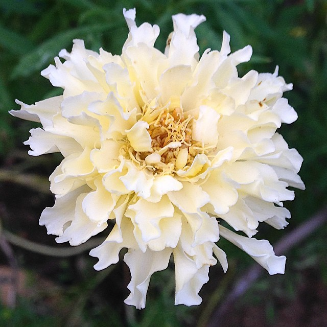 White marigold. These creeped me out a bit at first, but I'm a fan now. Next year, I want more! #flowers #garden #gardening #marigolds #whitemarigolds