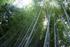 woodland, bamboo, tree, sunlight, forest, natural environment, jungle,