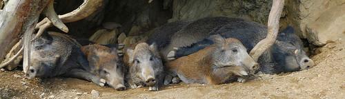 Familie Wildschwein