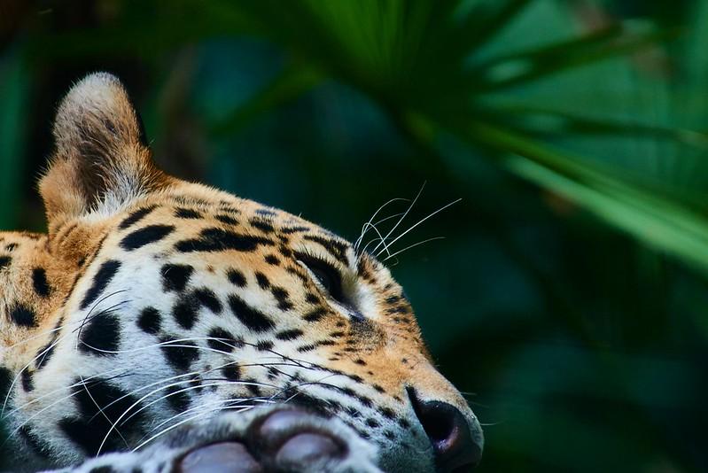 Jaguar - Belize