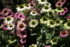 dorotheanthus bellidiformis, annual plant, flower, plant, marguerite daisy, daisy, wildflower, flora, daisy, purple coneflower, petal,
